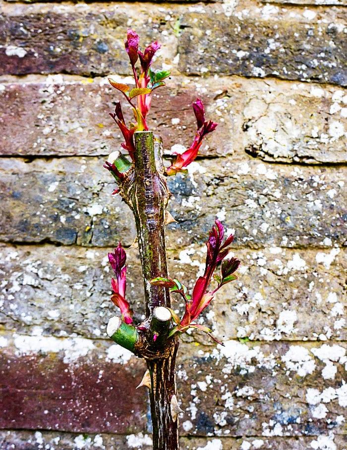 Buds of leaves on rose stem