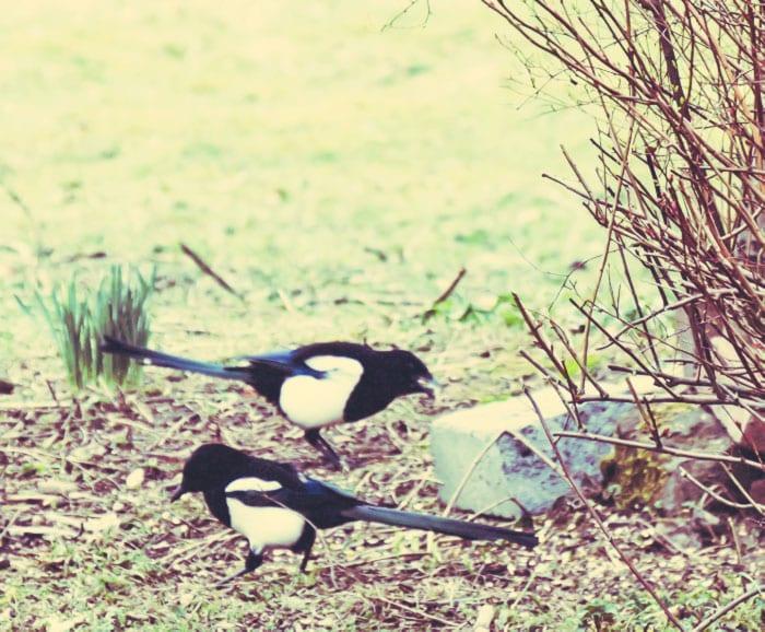 Two magpies under bird feeder