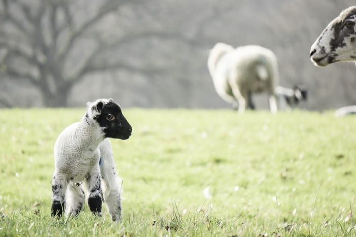 Baby lamb with ewe watching