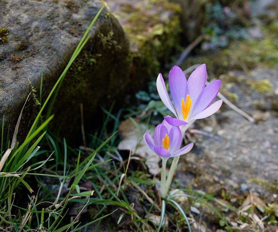 purple crocus on stone path