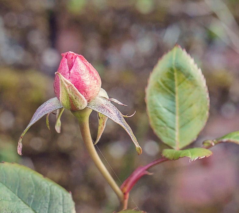 new rose bud march