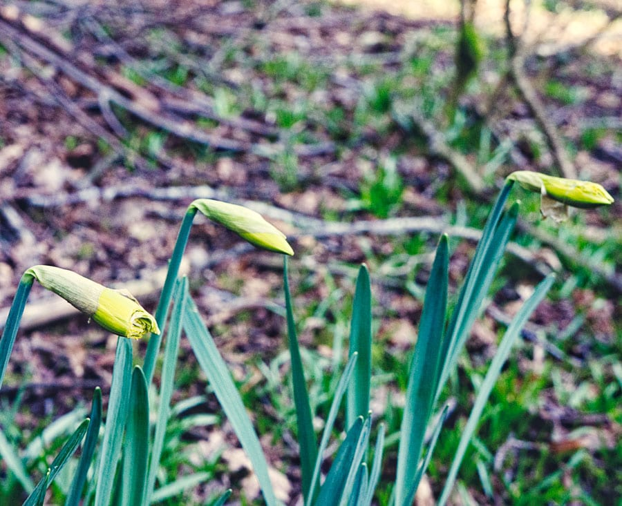 Wild Daffodils with nibbled bud