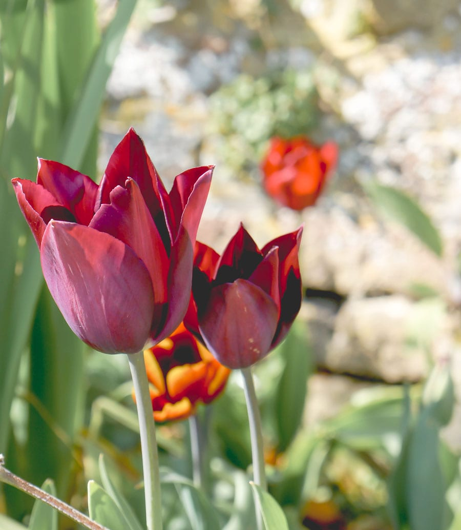 Burgundy coloured tulips