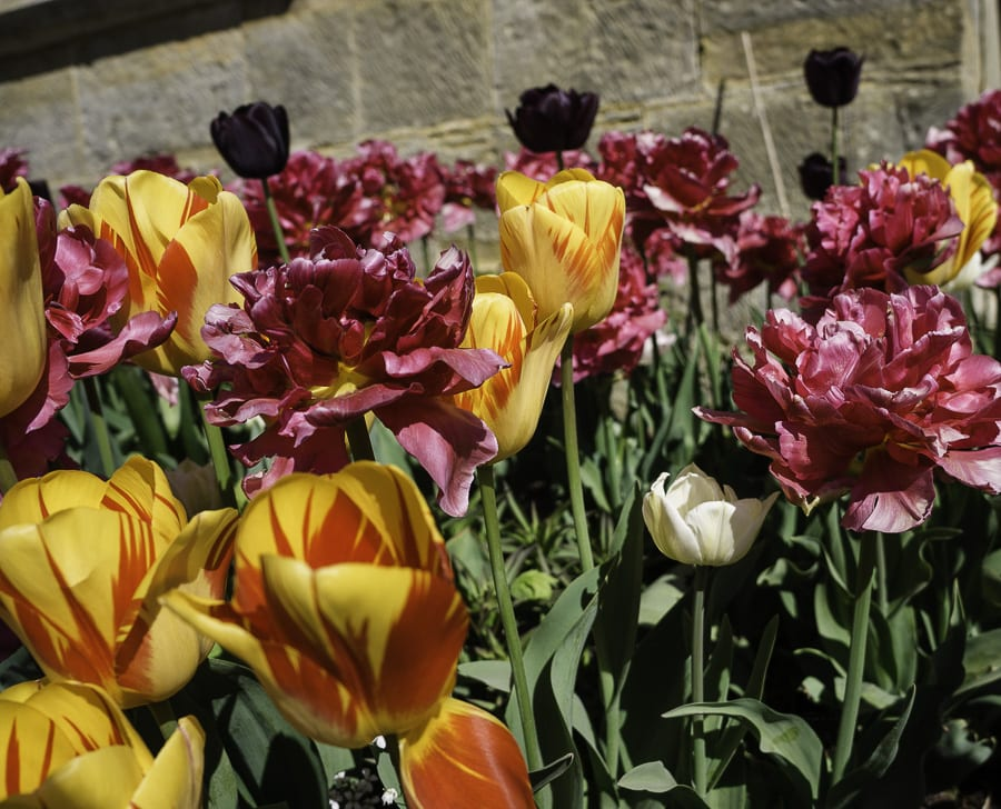 Raspberry Ripple and Queen of the Night tulips Standen