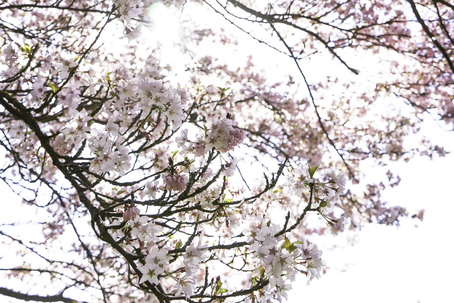 Tree blossoms in sunlight