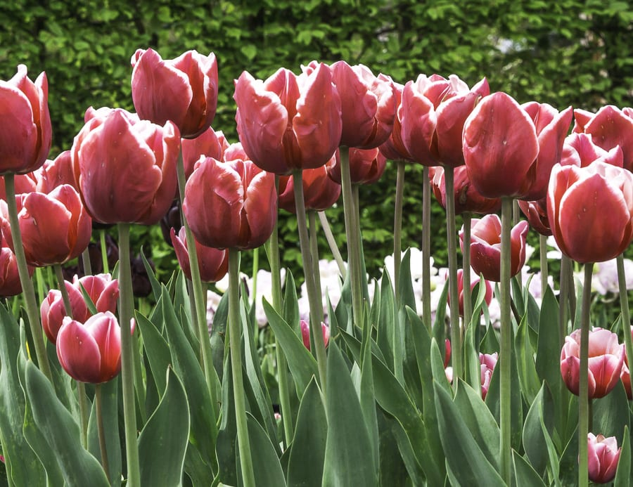 Red tulips with white edges