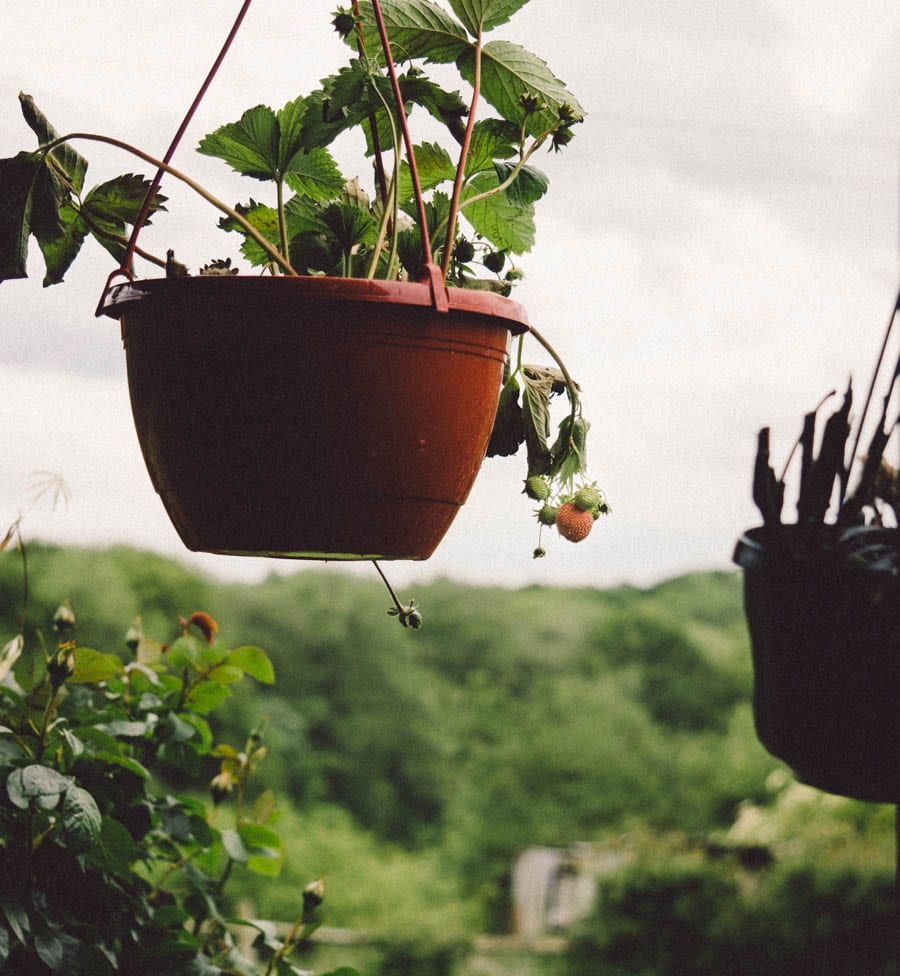 Strawberry pot and landscape view