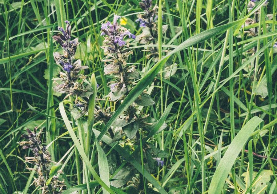 Bugle flowers