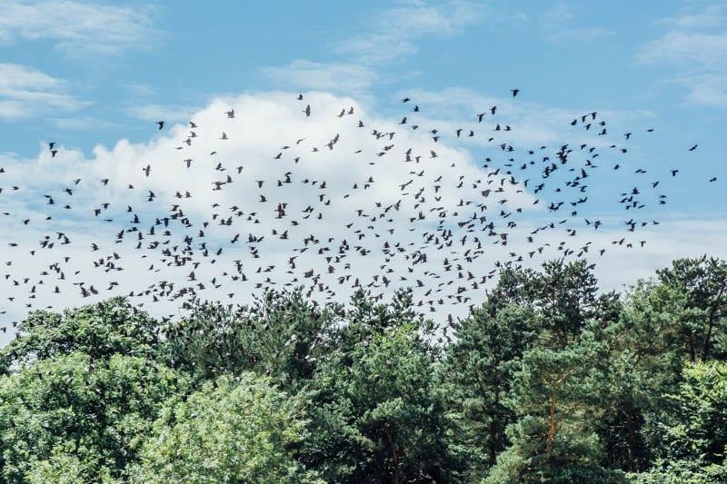 Jackdaw flock in flight in sky