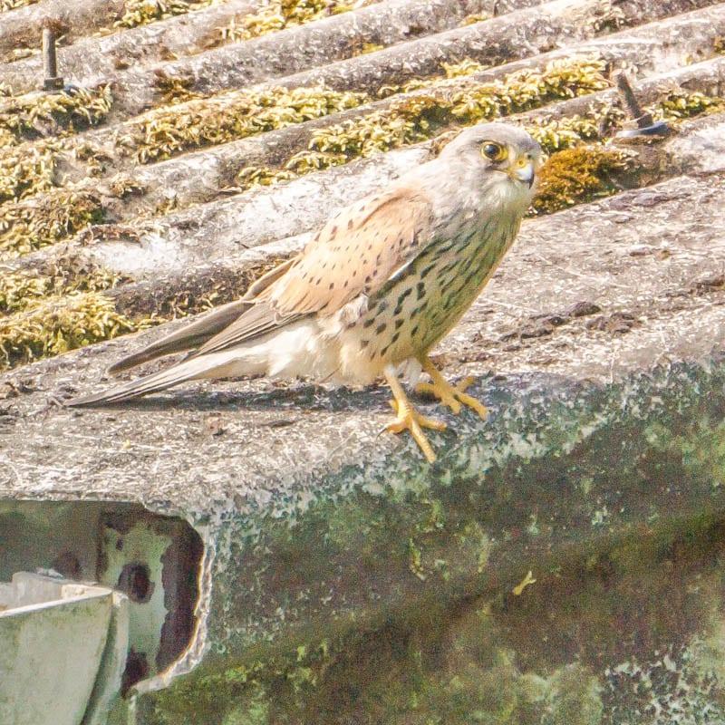 Kestrel hunting on barn roof