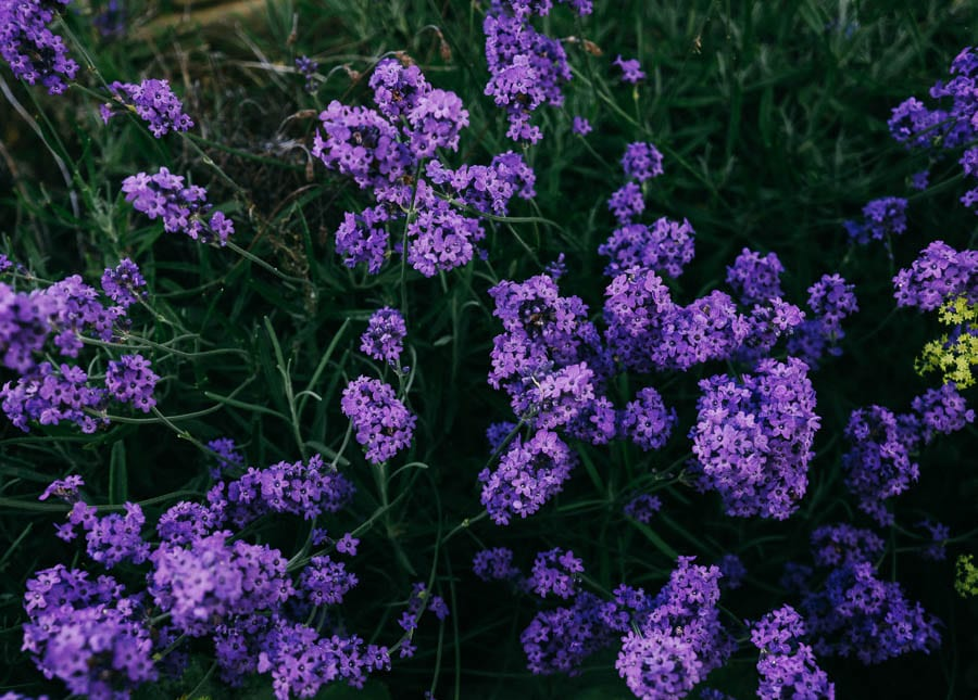Lavendar flowers from above