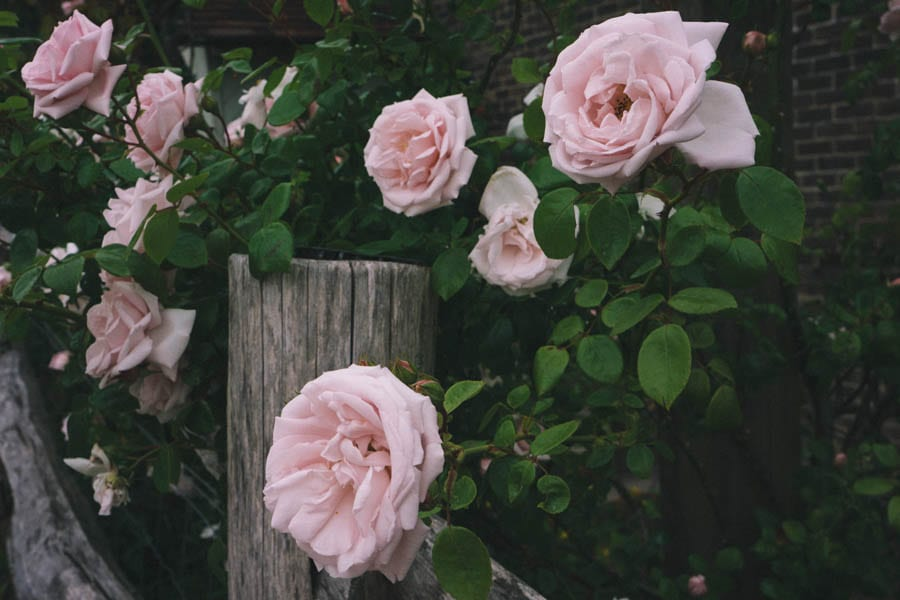 Pink roses along fence