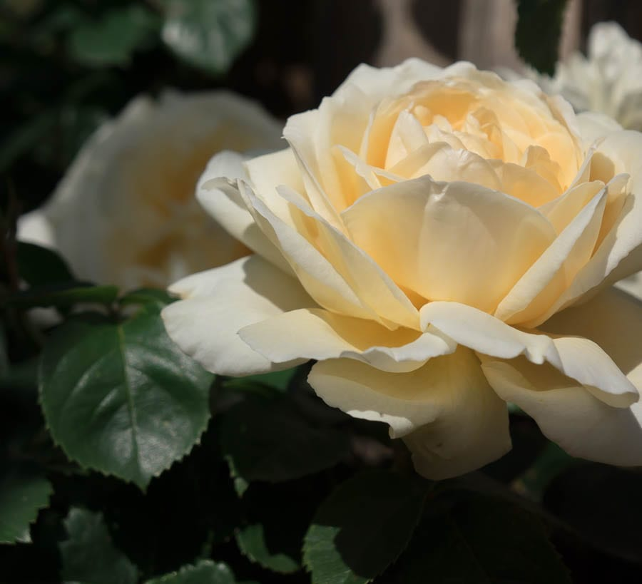 Single cream yellow rose