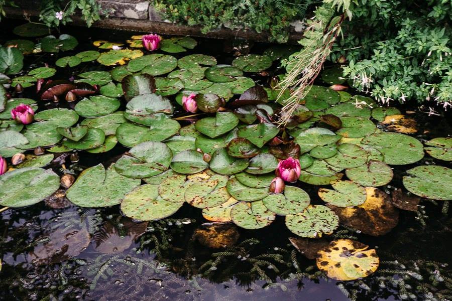 Water lillies  Gravetye Manor