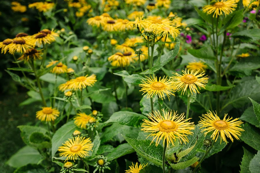 Yellow flowers Gravetye Manor
