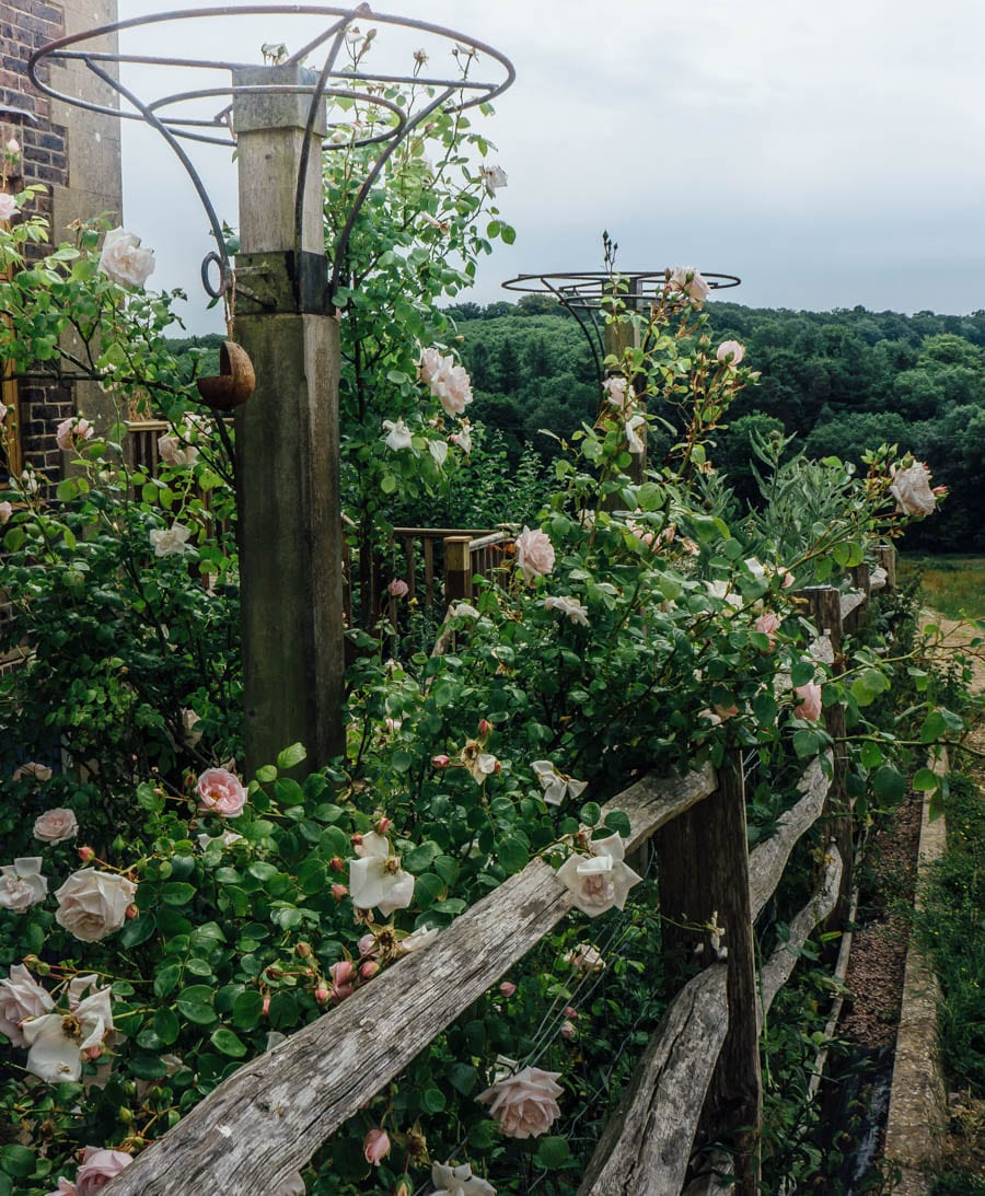 Roses on pillar and fence