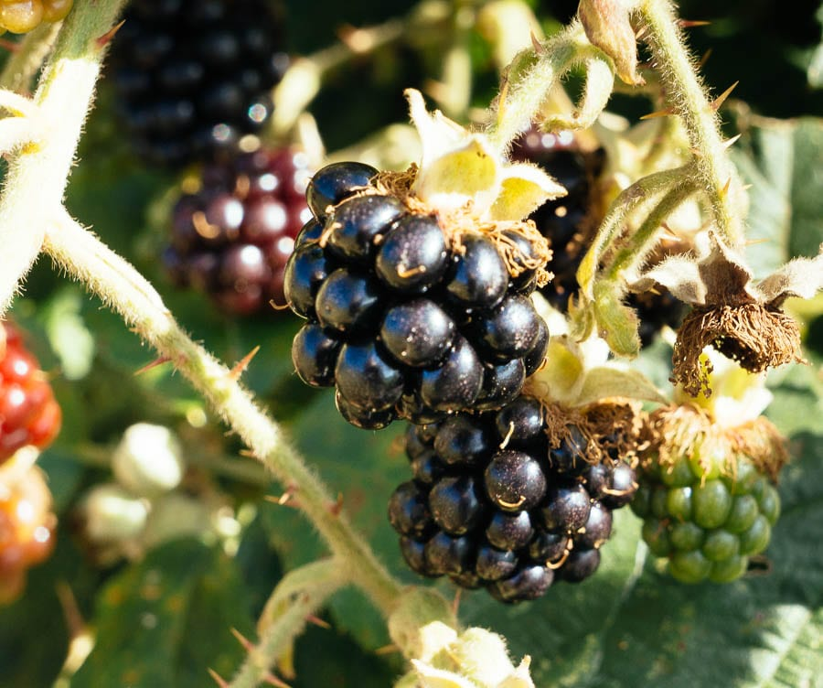 Close up blackberries