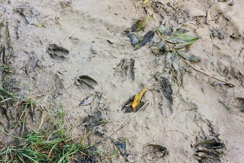 Deer tracks in mud