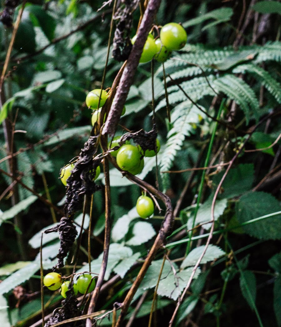 Poisonous Black Bryony berries