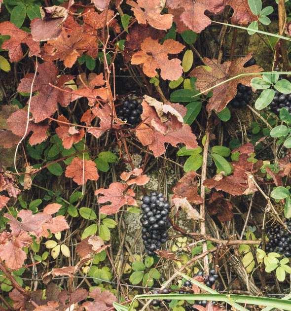 Groombridge grapes in garden