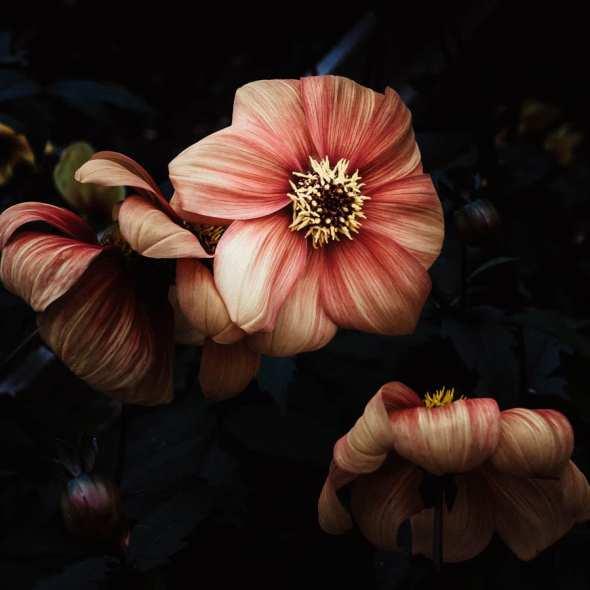Groombridge Place peach coloured flowers