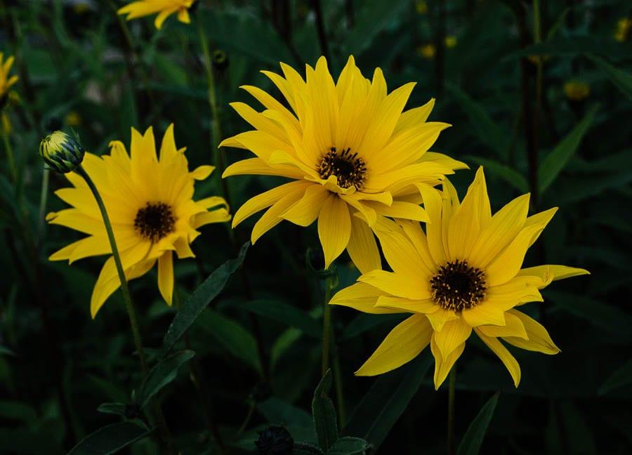 Helianthus flowers