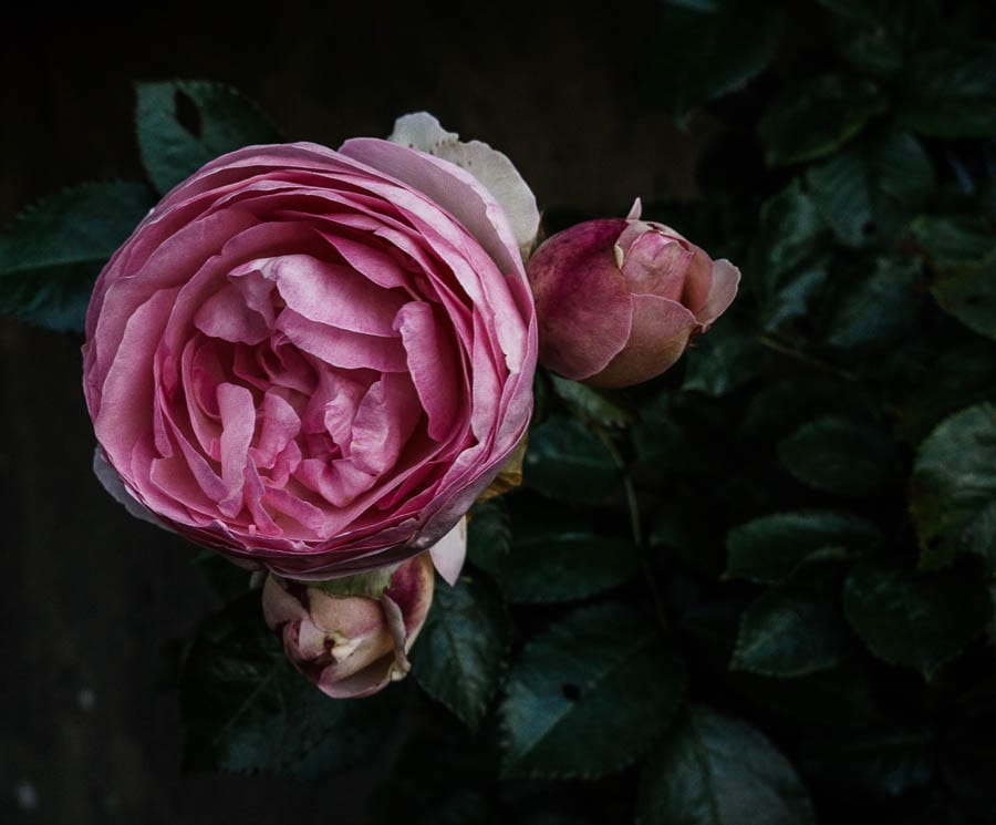 Pink traditional rose and bud