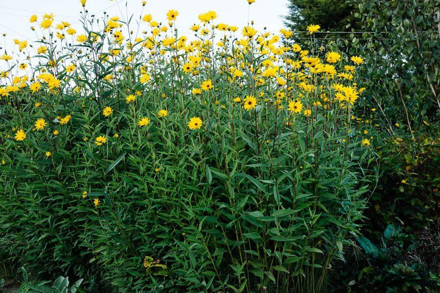 Tall yellow flowers Helianthus