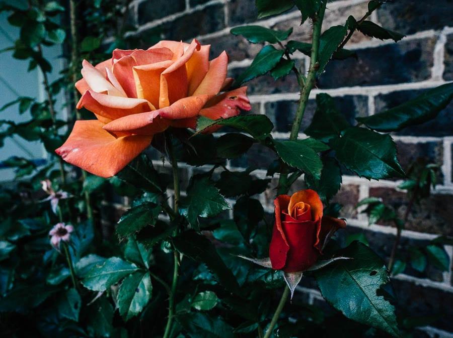 Orange red roses at dusk