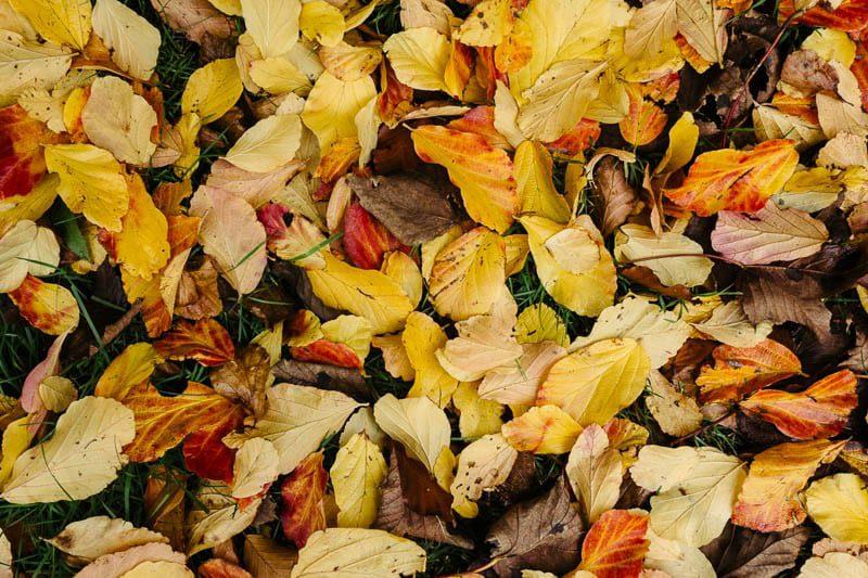 Autumn leaf colours yellows and orange