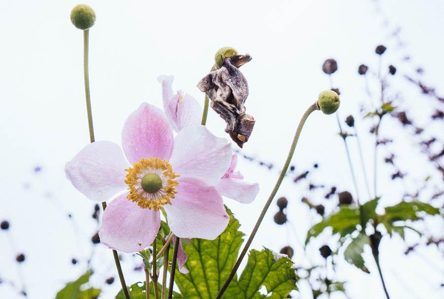 November Garden Japanese anemone