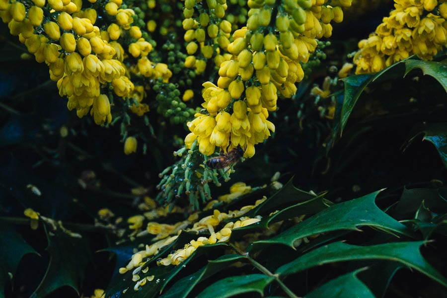 November Garden Mahonia x media flowers and bee