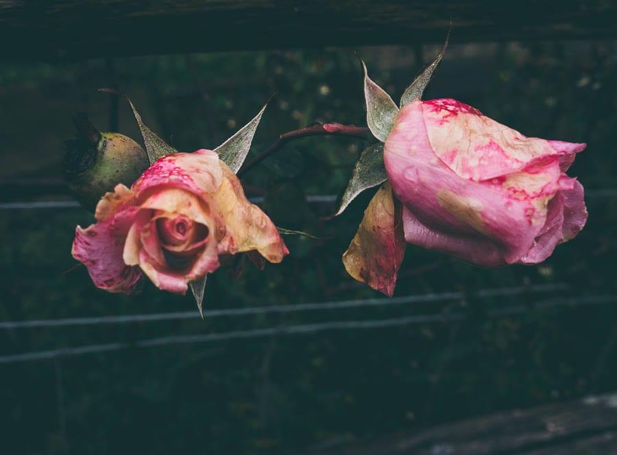November Garden Pink roses