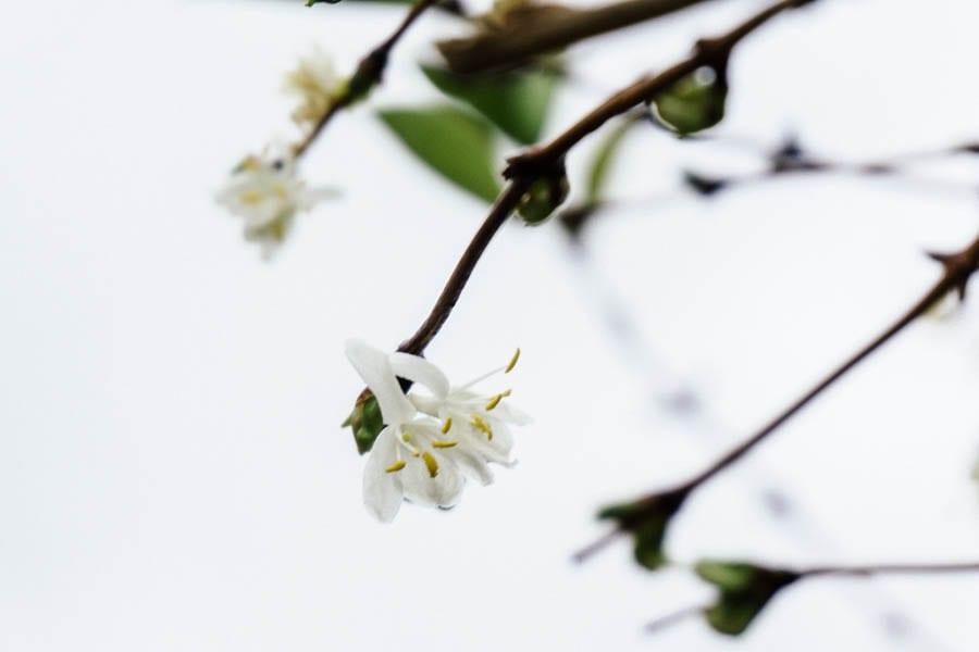 December garden winter jasmine honeysuckle