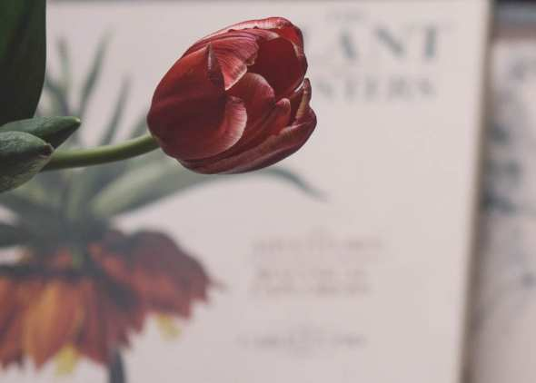 The Plant Hunters and tulip
