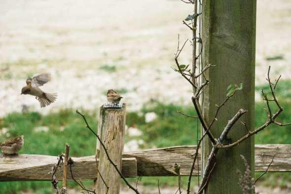 Winter Bird Feeding sparrows on fence