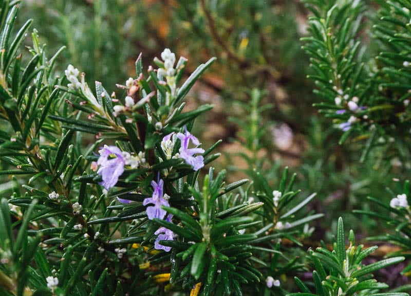 My January garden rosemary flowers