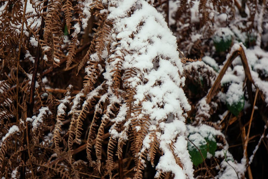 Snow Woods brown fern