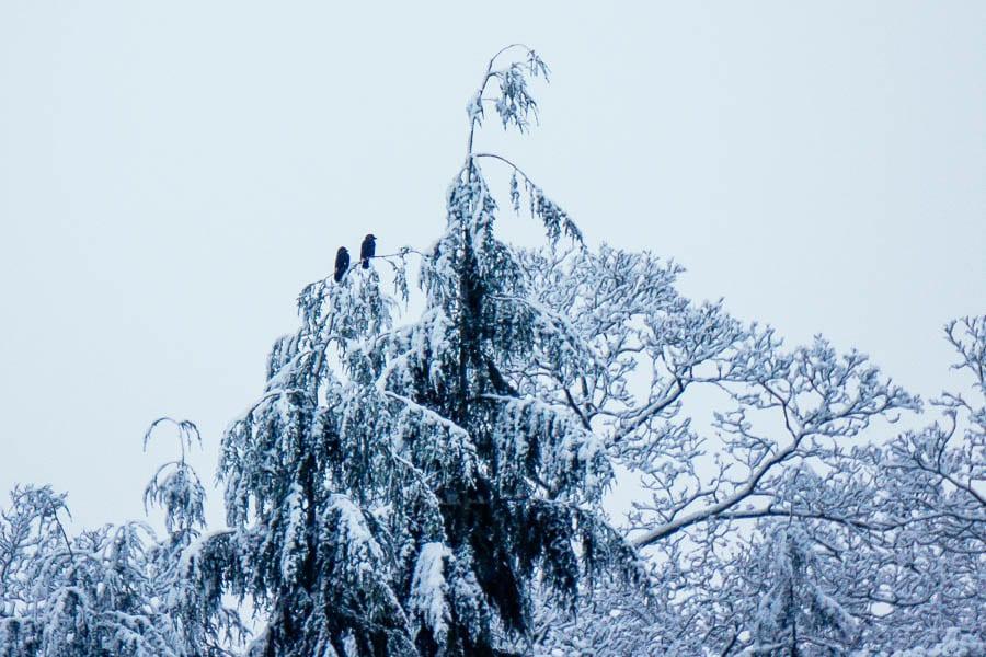 Snow Woods rooks