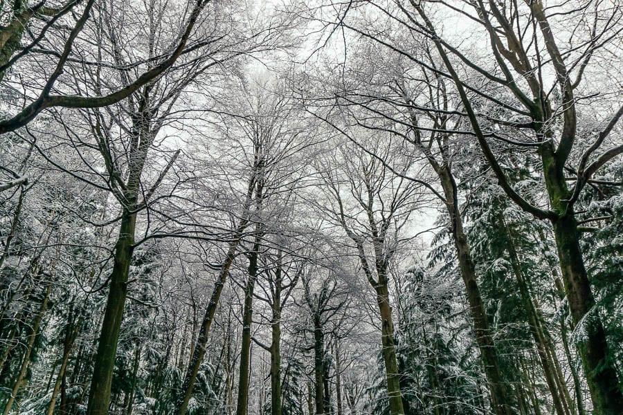 Snow Woods treetops