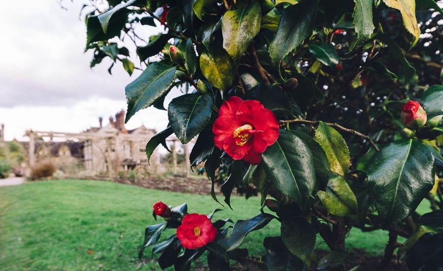 Gravetye February hotel and red camellia