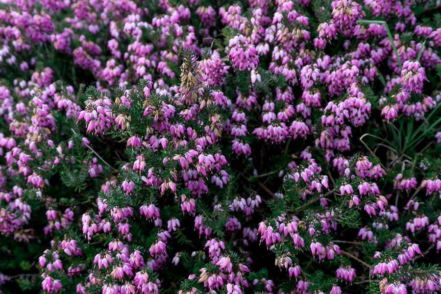 Gravetye February pink heather