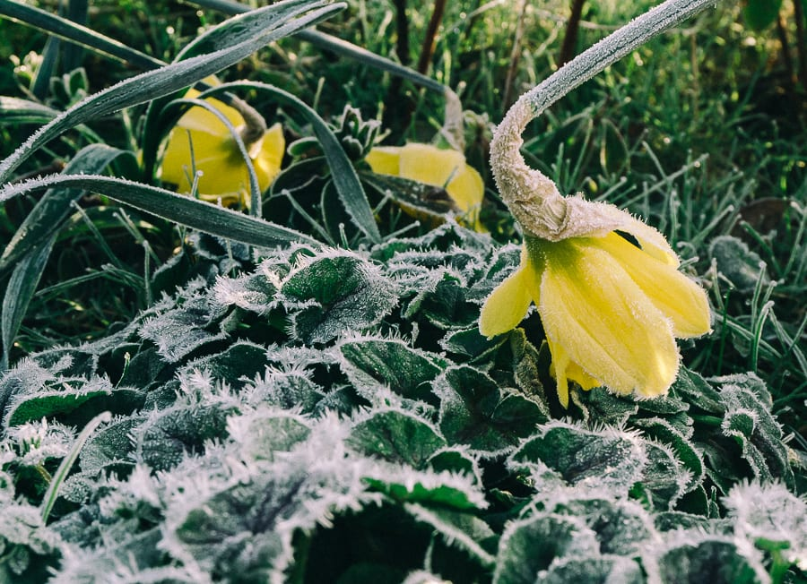 One frosty morning frost dropping daffodils