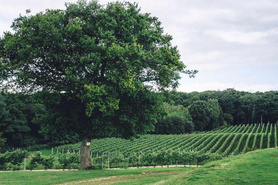 Bluebell vineyard tree and vines