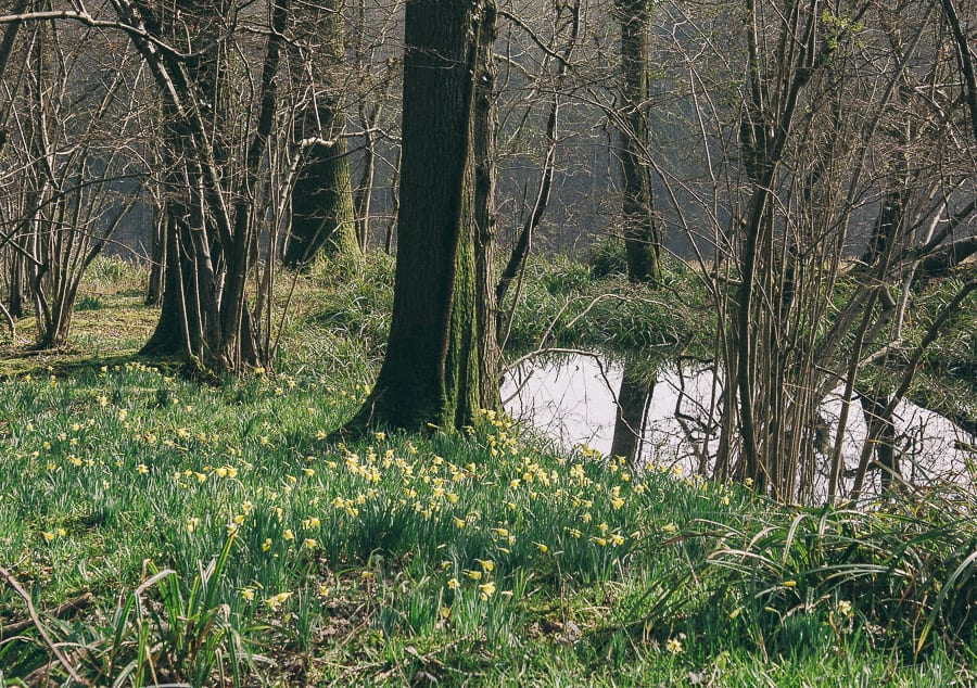 Daffodils by vernal pond