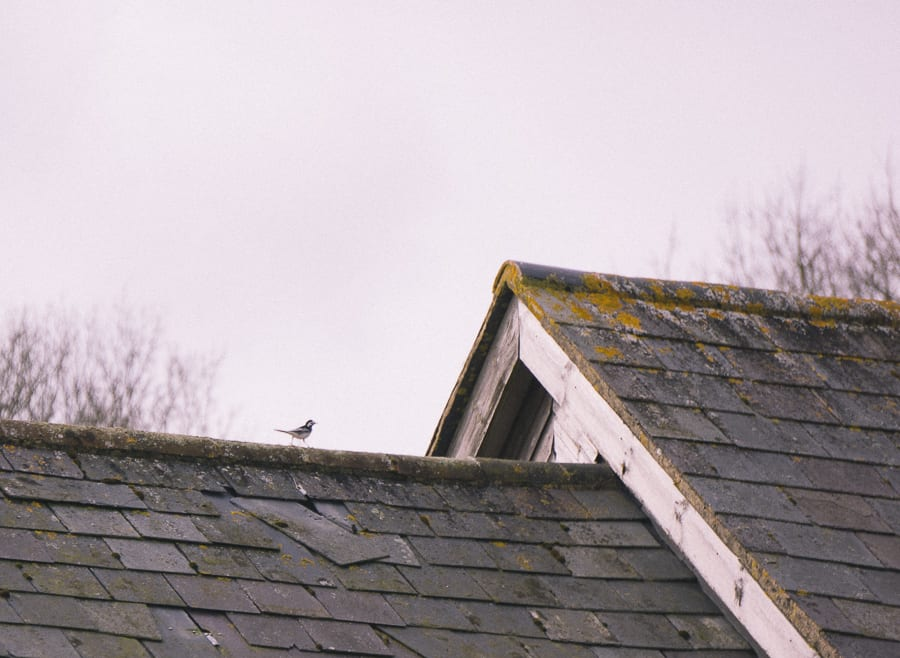 Pied wagtail on roof