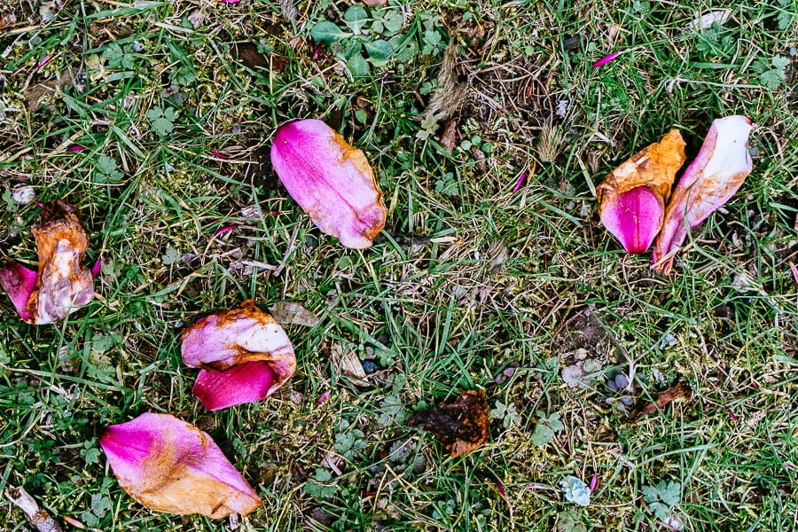 Wakehurst Magnolia petals on grass