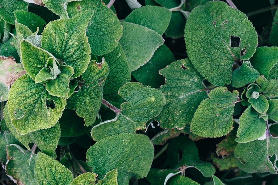 Wakehurst Phlomis samia subsp maroccana