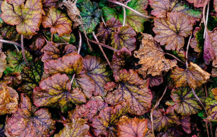 Wakehurst Tellima Grandiflora