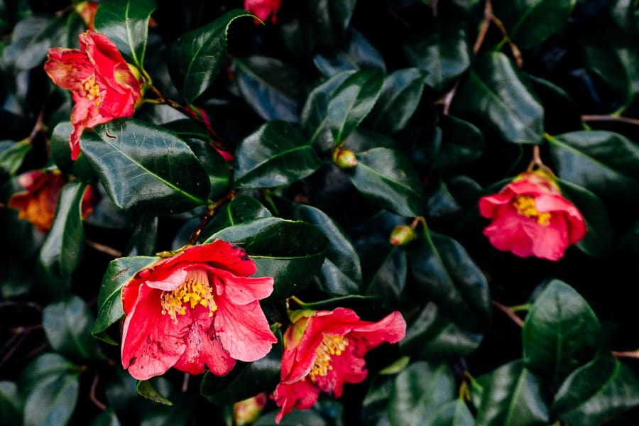 Wakehurst camellias wilting